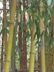 bambous jardin botanique Karim TATAI Strasbourg