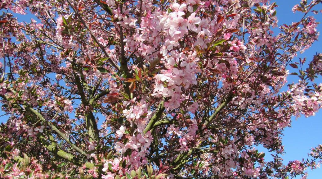 cerisier-rose-Karim-TATAI-Strasbourg