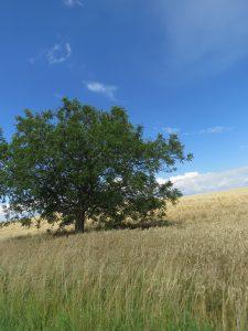 arbre dans un champ de blé, Karim-TATAI-Strasbourg