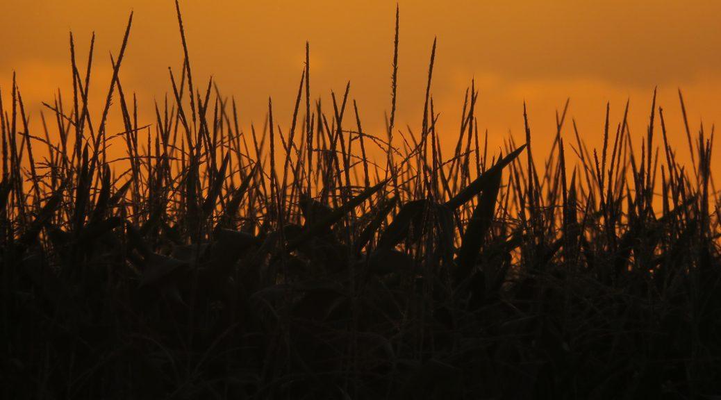 Crépuscule sur un champ de Maïs Karim TATAI strasbourg