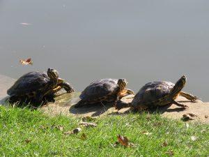 tortues-orangerie-Strasbourg-Karim-TATAI