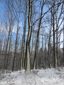 arbres enneigés Karim TATAI Strasbourg