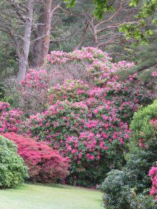 Lauriers roses parc Killarney irlande Karim TATAI Strasbourg