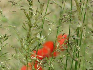 coquelicots-herbes folles-Karim-TATAI-strasbourg