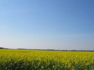 champs de colza, Haute Marne, avril 2016