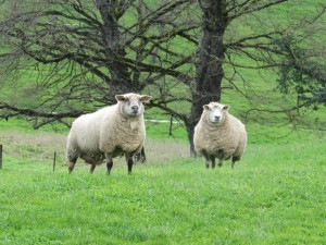 moutons dans l'Allier karim TATAI-Strasbourg