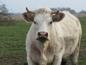 vache-Allier-Karim-TATAI-Strasbourg