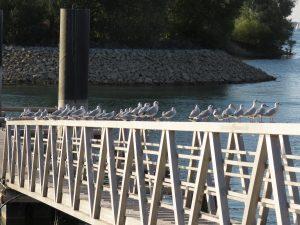 Mouettes sur le Lac de Der CP Karim TATAI Strasbourg