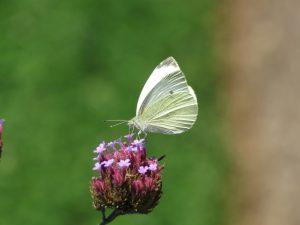 papillon-fleur-Karim-TATAI-Strasbourg