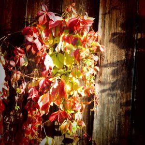 Vigne vierge au soleil