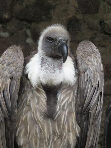 Vautour à la volerie des aigles à Kintzheim-Karim-TATAI-Strasbourg