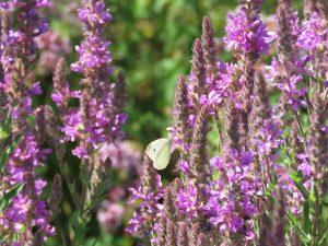 fleurs-papillon-blanc-Karim-TATAI-Strasbourg